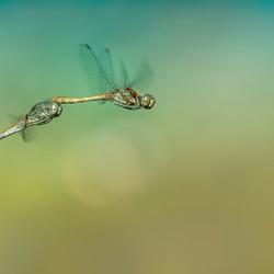 Paring Libellen
