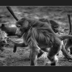 Ape fight