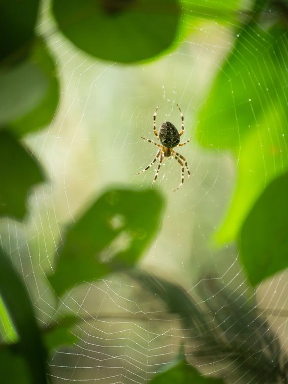 Spiderwoman - Kruisspinnen-tijd, in de krant stond dat ze met uitsterven bedreigd zijn, gelukkig nog niet in mijn tuin.