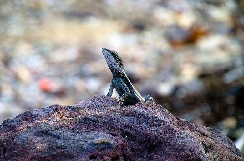 Gilberts Dragon - Gilberts Dragon, gefotografeerd in Litchfield National Park, Northern Territory, Australië.