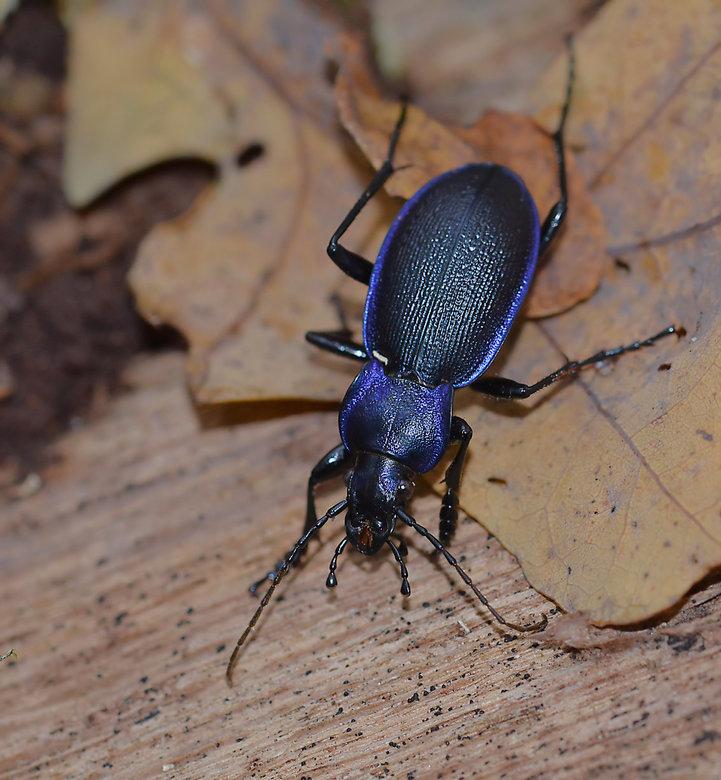 Violette Loopkever (Carabus Violaceus)