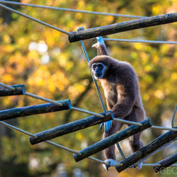 Withand gibbon