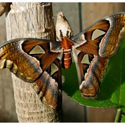Atlas Vlinder