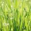 Gras met dauw