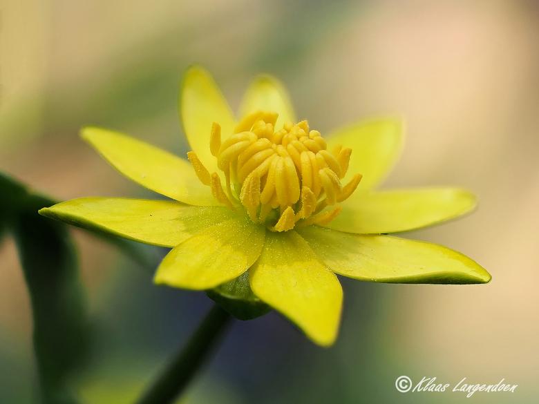 Ficaria verna - speenkruid - Stack je gek met de OMD1 - markII.<br /> Macro opname van 8 in house camera stacks van de bloem van het speenkruid.