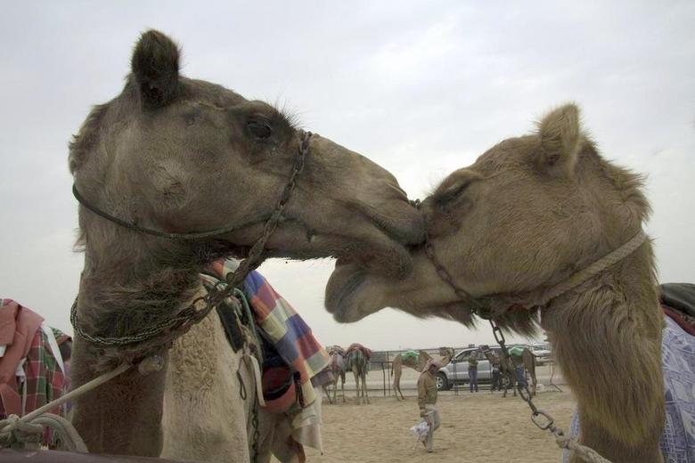 knuffelende kamelen - Na de kamelen race zag ik deze twee kamelen knuffelen.