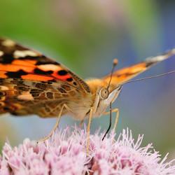 Nectar zuigende distelvlinder