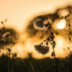 Distel bij zonondergang