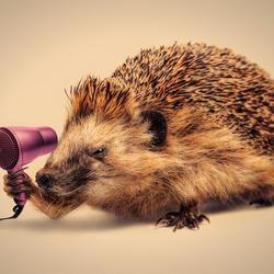 Hedgehog vs Hair dryer