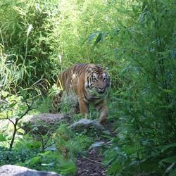 Hermus de tijger
