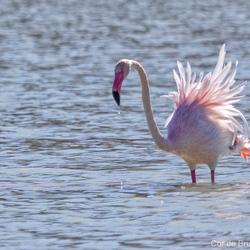 Flamingo imiteert een pauw