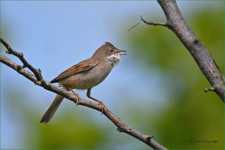 Grasmus - Vogeltje wat opvalt door zijn mooie zang.<br /> <br /> Iedereen bedankt voor alle reacties op mijn vorige upload. Groeten Jan