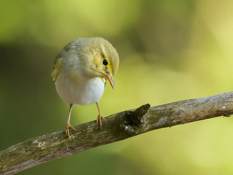 Fluiter... - De fluiter zang is een zangvogel uit de familie Phylloscopidae. bedankt voor U reacties bij mijn vorige up.<br /> <br /> gr Louuis