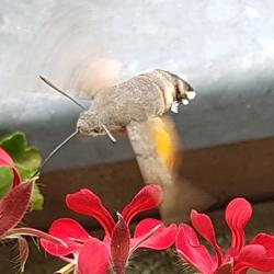Kolibrievlinder in het Sauerland