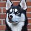 Siberische Husky Dash