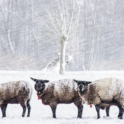 Being a sheep in tough conditions..