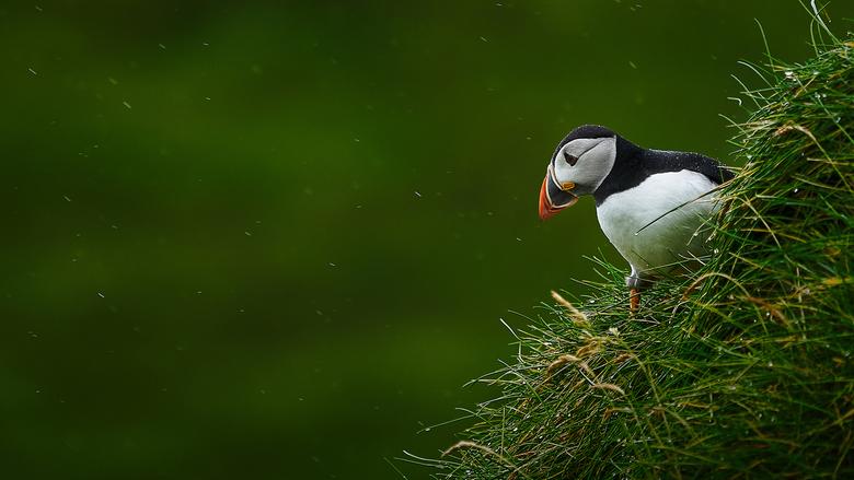 (why does it always) rain on me - Een papagaaiduiker in de regen; ergens op Mykines - Faeroër eilanden...