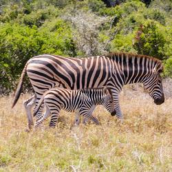 Addo Elephant National Park, Zuid-Afrika