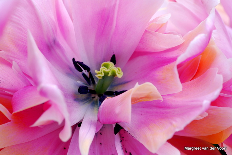 Roze tulp - Close-up van een roze tulp.