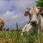 Koe en kalfje.
