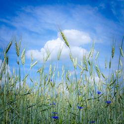 Korenbloemblauw