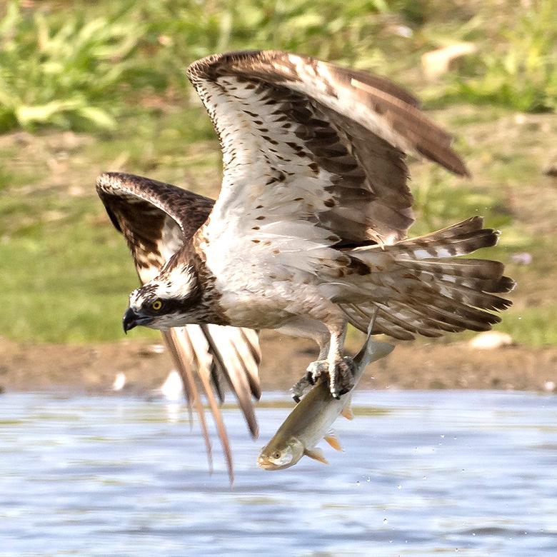 Big catch! - Deze Visarend had een behoorlijke vis te pakken en ik kon meegenieten hoe ie hem uit het water haalde.<br /> <br /> Iedereen een fijn w