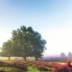 Heath before tree