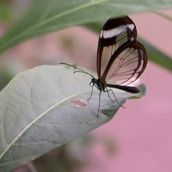 De glasvleugelvlinder