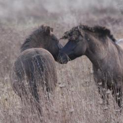 Konikpaarden Gesprek tussen hengsten