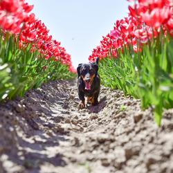 hond tussen de tulpen