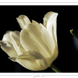 Tulp in zonlicht