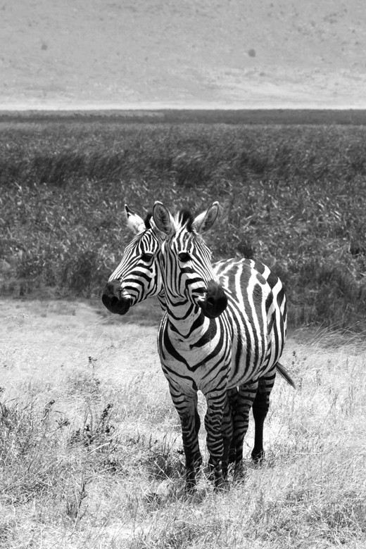 Black & White double headed Zebra  - Zebra's black with white stripes are distracted for predators but those two Zebra's has a other dis
