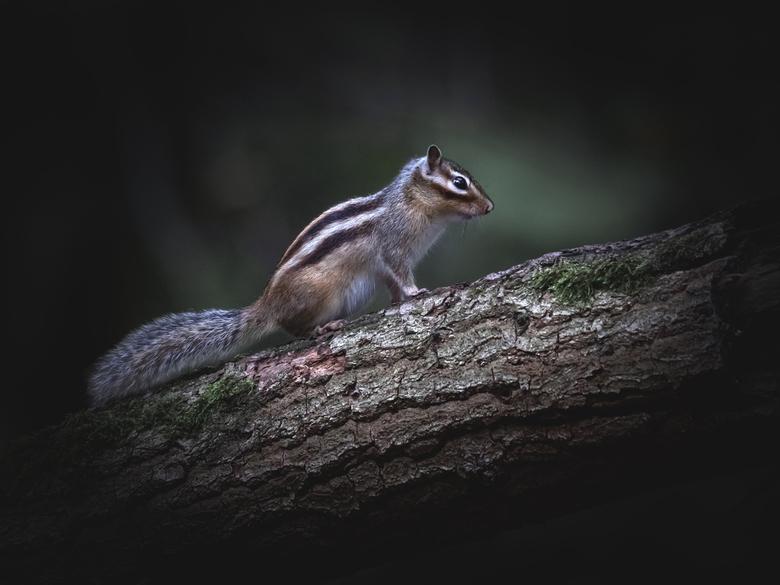 siberische eekhoorn -