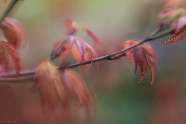 Lenterood - De esdoorn in de tuin staat vol in het blad. De blaadjes zijn nog heel klein maar zo gaaf nog.
