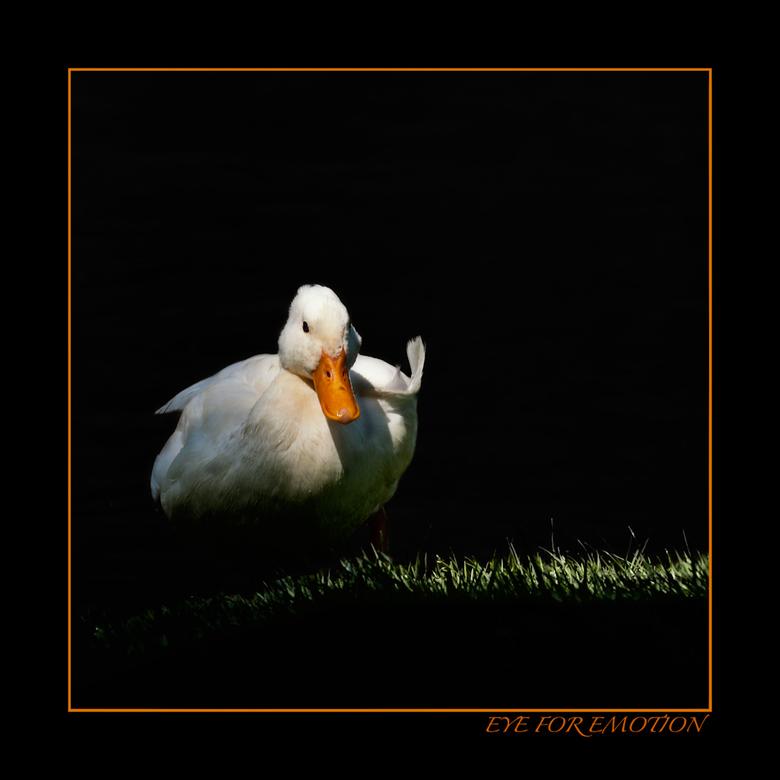 Duck in the dark... - Nou ja...het was eigenlijk net andersom..deze foto heb ik van de zomer vanuit de schaduw geschoten en de eend kwam net het water