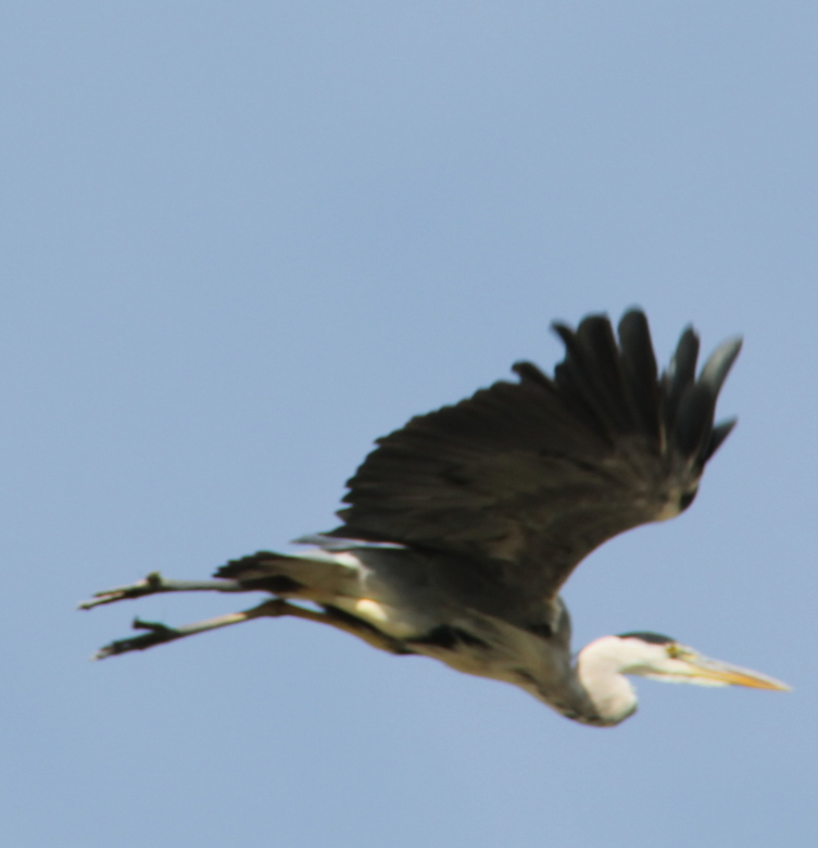 Reiger  - Een wegvliegende reiger