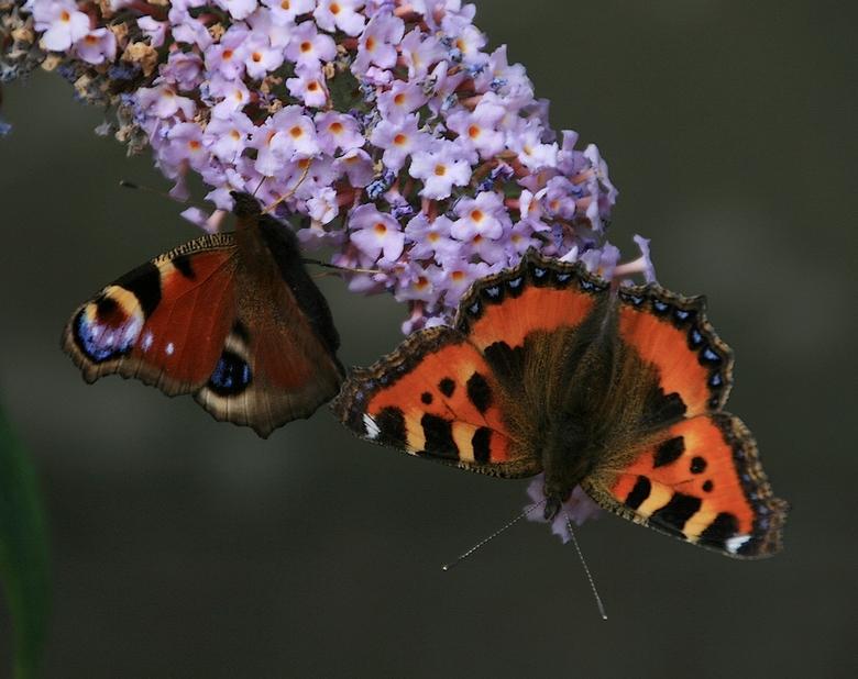 Vlinders voor Pink Ribbon. - Een van twee jaar geleden met twee vlinders..<br /> <br /> gr jenny, en allen bedankt voor de reactie op het zonnescher