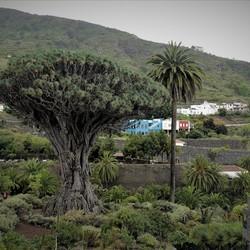 P1060603 Tenerife Sfeertje Drago Milenario 18 mei 2019