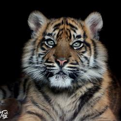 Sumatraans tijgerwelpje