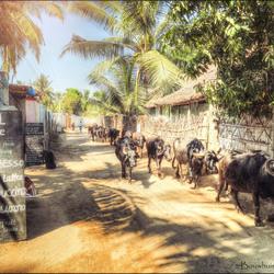 Walking Bulls