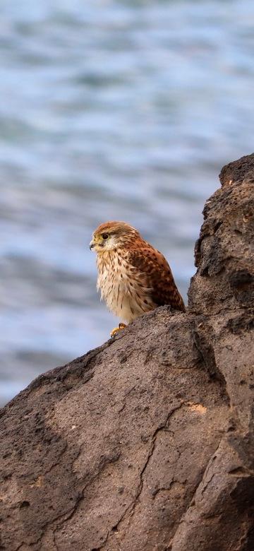 Torenvalk op de rotsen van Playa Blanca -