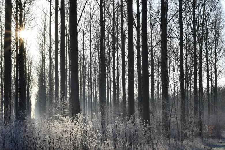 Peeking Trough  - The sun peeking trough trees.... niets meer niets minder