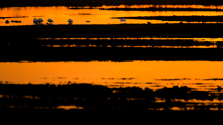 Tegenlicht - Knobbelzwanen in tegenlicht met zonsopkomst.