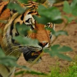 Tijger in Ouwehands dierentuin