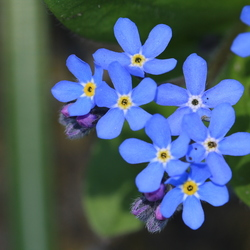 Blue Bluems