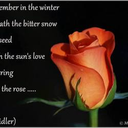 The Rose ...