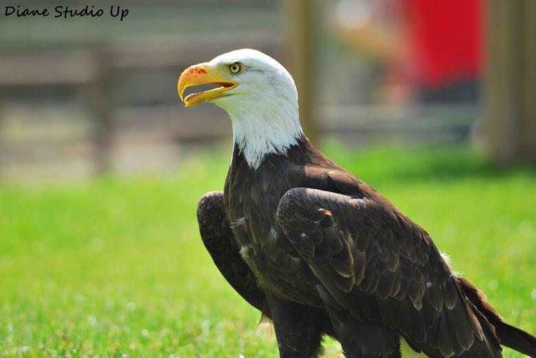 Bald Eagle - Een prachtig dier! De Amerikaanse zeearend. Geschoten na de roofvogelshow in Safaripark Le Monde Sauvage de Remouchamps. <br /> <br />