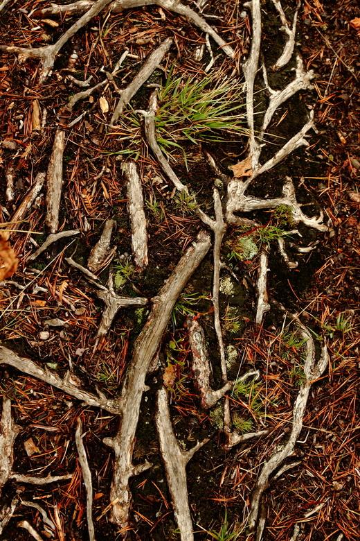 Wortels - Bijzonder om te zien vond ik, deze kleurrijke wortels in het Zweedse bos.