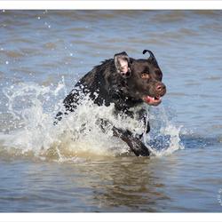 Bruine Labrador komt uit de zee