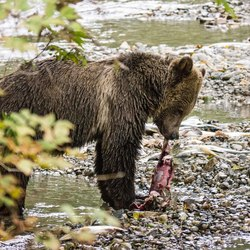Jonge beer met zalm in noordoost Canada